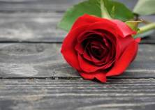 A single red rose laying on the old vintage wooden floor, Spring in GA USA.